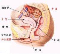 女性内生殖器 Female internal genital organs