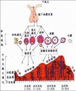 月经周期 Menstrual cycle