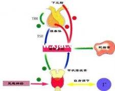 甲状腺激素 tetraiodothyronine